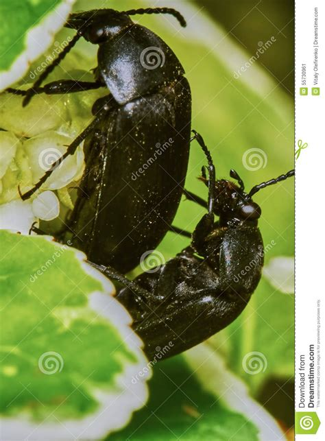 bug xl reguler 1gb black bugs stock photo image 55730961