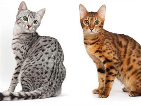 breed identification quiz identify my cat breed quiz cats