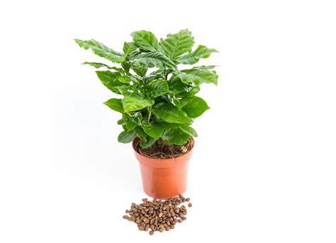 coffea arabica plant eden project shop