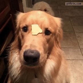 animated golden retriever golden retriever gifs find on giphy