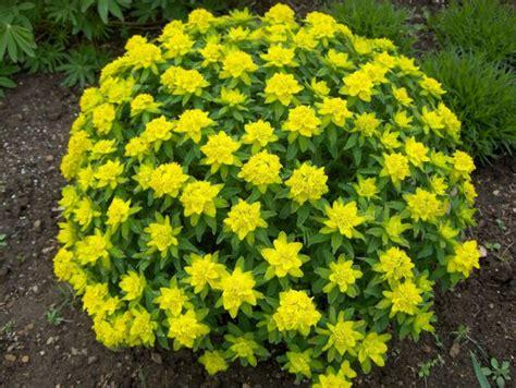 types of plants in the garden euphorbia