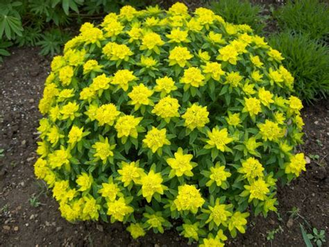 Deep Roots Garden Design Blog What Is That Yellow Mound Yellow Garden Flowers