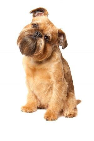 brussels griffon dog breed information