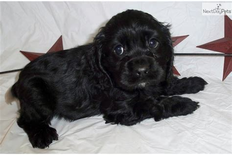 cocker spaniel puppies for sale ohio cocker spaniel puppy for sale near cincinnati ohio 6c8ba4ba d571
