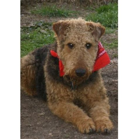 airedale puppies for sale in michigan airedale terrier breeders in the usa and canada freedoglistings page 1