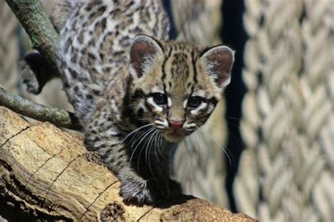 baby ocelot practices prowling zooborns