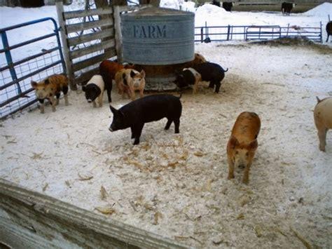 alimentazione maiali mangiatoia maiali maiali