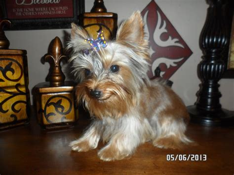 akc teacup yorkies rare chocolate with platinum blonde 8 best blue and gold yorkie puppies images on pinterest