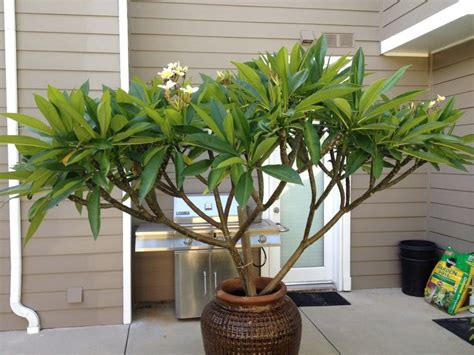 plumeria tree florida plumeria a collection of ideas to try about other trees