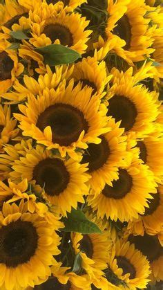 check  beautiful fresh edible sunflower pictures