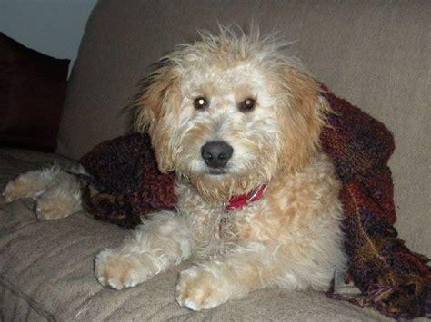 goldendoodle puppies for sale puppyfind goldendoodle puppies for sale dogjing pin the you