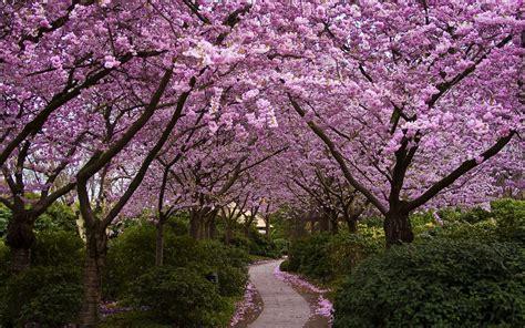 Blossom Garden cherry blossom garden wallpapers 1920x1200 1686964