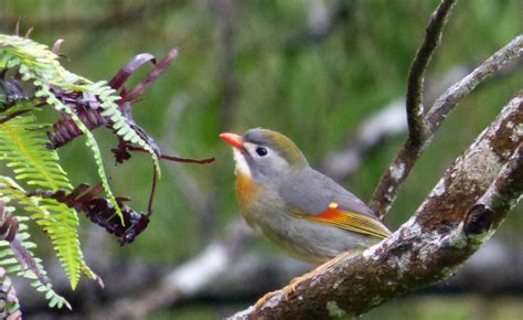 killing birds invasive species in hawaii birds in a