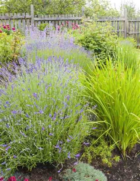 growing lavender from harvesting to using gardening