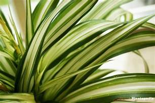 Indoor Container Herb Garden - spider plant chlorophytum comosum how to grow and care plantopedia