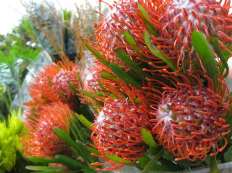 Online House Design protea and leucadendron category tesselaars flower gallery