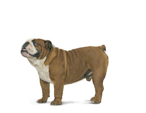Royal Canin Bulldog Dewasa 3kg bulldog voer rasspecifiek hondenvoer voor bulldogs