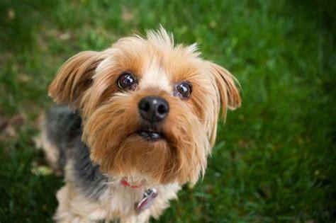 perros peque os para apartamentos list of synonyms and antonyms of the word perros pequenos