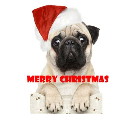 merry pug pictures 17 best images about merry pugmas on pugs merry and