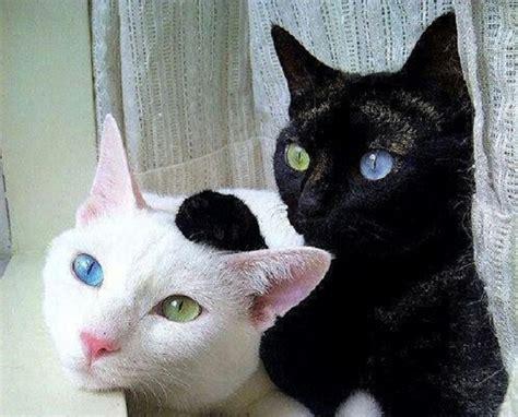 gatti con occhi diversi gatti occhi diversi tutto ze 53892