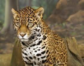Pic Of Jaguar World All Animals Danger Jaguars