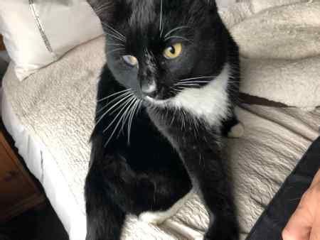 found cat domestic short hair in leamington spa cv33