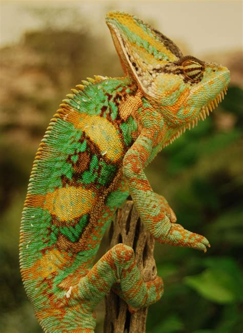 do all chameleons change color in images colorful chameleons change colors during combat