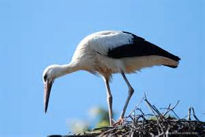 Free Design Online photo white stork