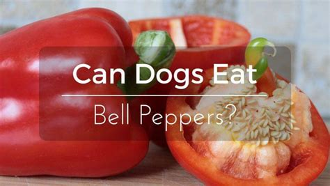 can dogs eat peppers can dogs eat bell peppers is it or bad thepetadvice