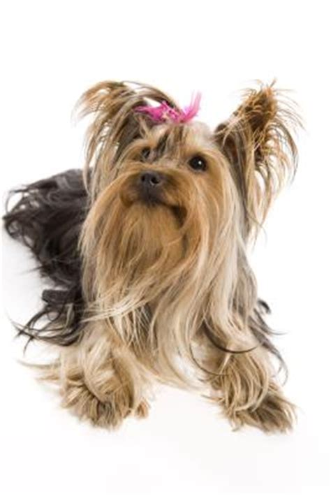 petsmart yorkie can you put a collar on a yorkie pets