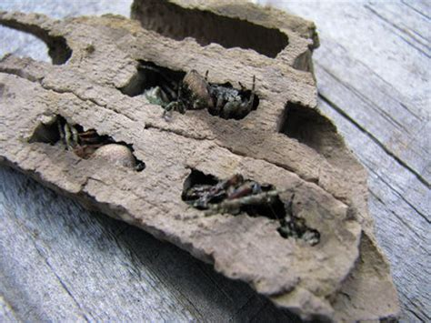 mud nest on side of house wasps on the house organic design