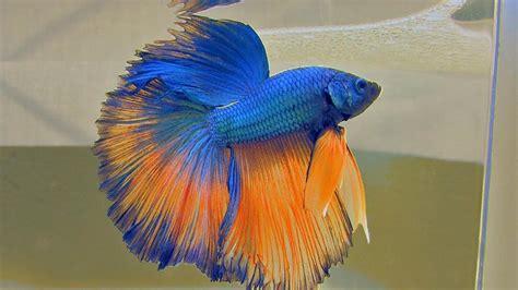 blue  orange halfmoon betta fish picture  wallpaper