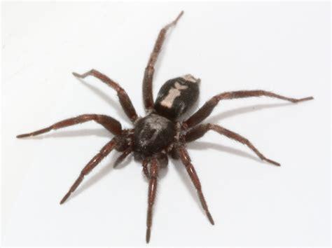 Garden Spider With White Stripe On Back Brown Spider With White Stripe On Back Myideasbedroom