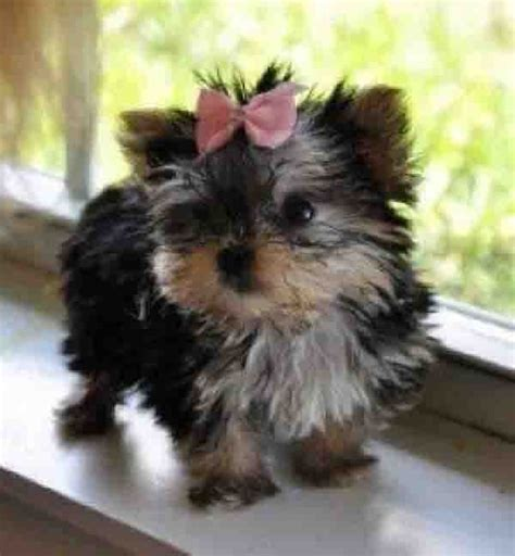 buy yorkies 1000 images about yorkies mine is still better on yorkie puppy
