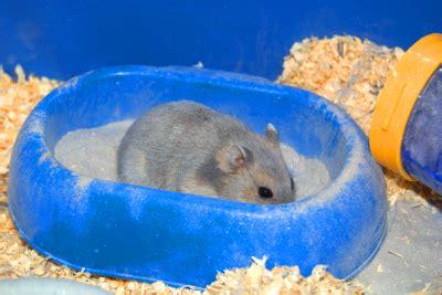 Hair Dryer Kelinci cara memandikan hamster