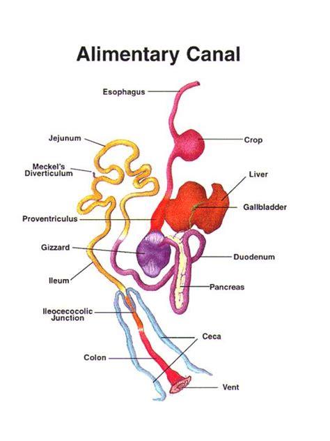 alimentary canal kesehatan unggas