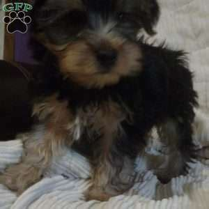 chonzer puppies for sale chonzer puppies for sale chonzer breed info greenfield puppies