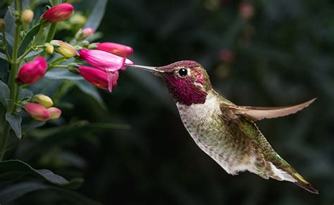 how do hummingbirds chirp with their tails