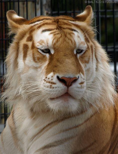 Cinnamon Tiger | cinnamon striped bengal tiger p7161801r3 cinnamon