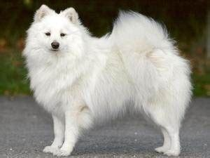 how many types of pomeranians are there 5 answers how did wolves evolve into dogs like pomeranians quora