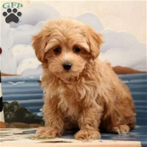 maltipoo puppies for sale in md maltipoo puppies for sale in pa md ny nj