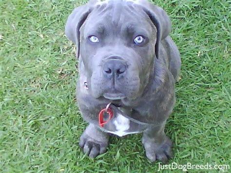 bullmastiff pitbull mix puppies for sale pin boxer mastiff mix puppies for sale santee animals new born pics cake on