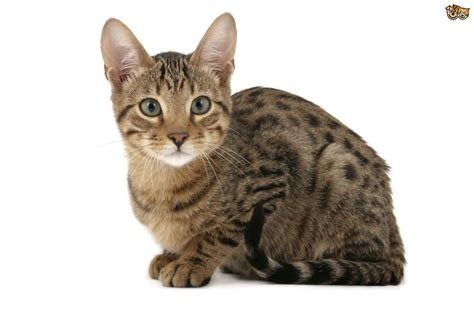 domestic breeds 6 large domestic cat breeds with relatives pets4homes
