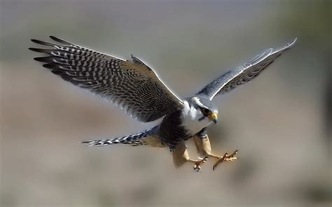 Falcon Bird Wallpaper