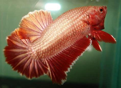 Pakan Ikan Cupang Baru Lahir ikan cupang hewan peliharaan
