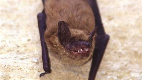 dr wood what to do when you find bats in your belfry or