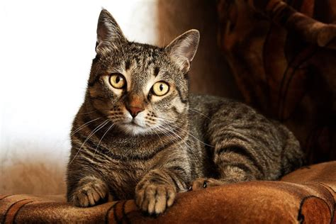 adult brown tabby cat  stock photo