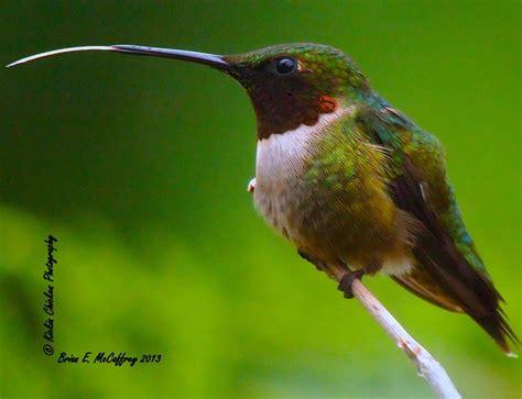 hummingbird tongue bird colorful pinterest