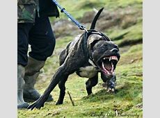 Bandog attack | Dogs | Dogs, Dangerous dogs, Aggressive dog Huge Pitbull Attack