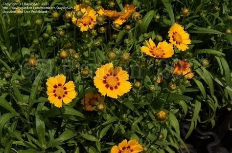 plantfiles pictures coreopsis bigflower coreopsis